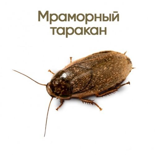 Живой корм - Таракан мраморный (Nauphoeta cinerea)<br />