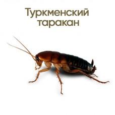 Таракан туркменский (Shelfordella tartara)