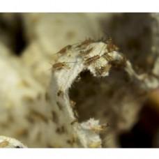Сверчковая «пыль»