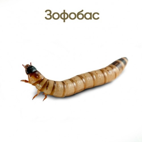 Зофобас (Zophobas morio)- Живой корм