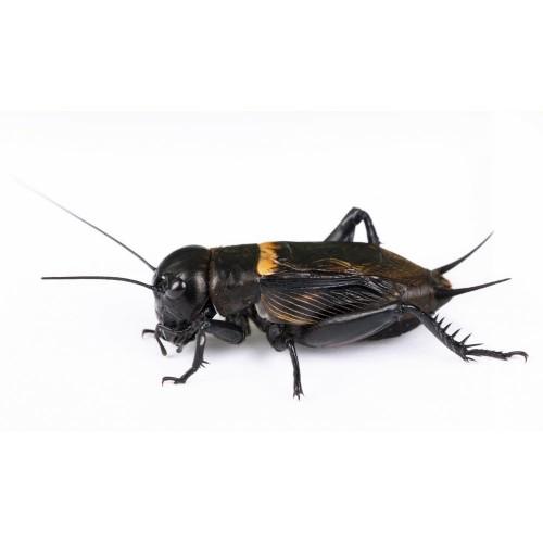 Сверчок двупятнистый (Gryllus bimaculatus)- Кормовые насекомые