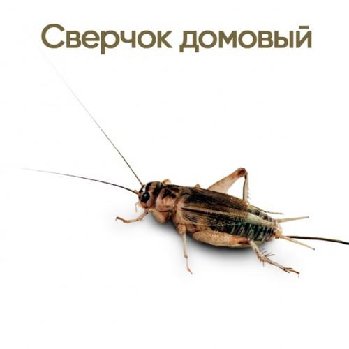 Сверчок домовой (Acheta domesticus) более 1 см- Кормовые насекомые