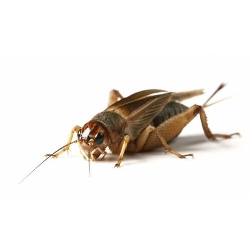 Банановый сверчок (Gryllus asimilis)- Кормовые насекомые
