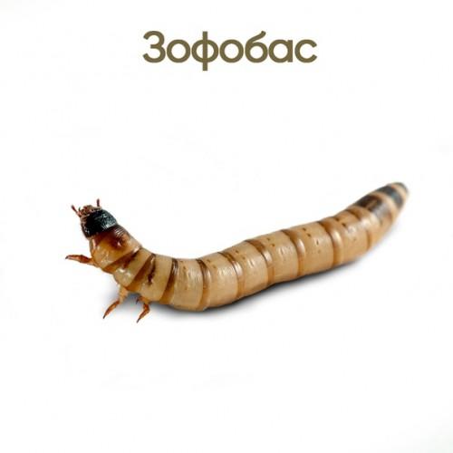 Зофобас (Zophobas morio)- Кормовые насекомые