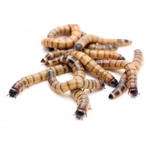Кормовые насекомые - Мучной червь (Tenebrio molitor)