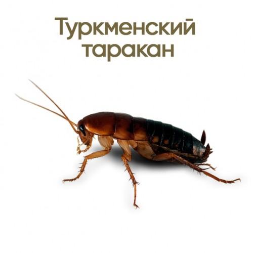 Таракан туркменский (Shelfordella tartara)- Кормовые насекомые