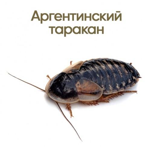 Аргентинский таракан (Blaptica dubia)- Кормовые насекомые