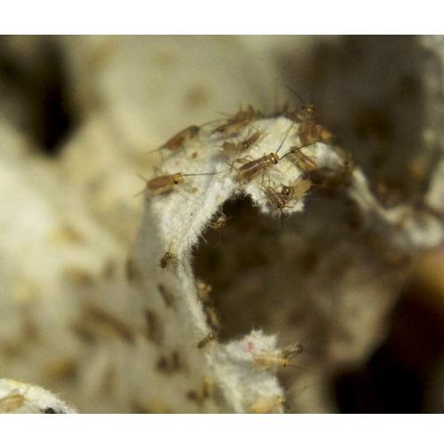 Сверчковая «пыль»- Кормовые насекомые