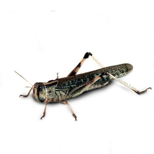 Саранча перелетная (Locusta migratoria) крупная- Кормовые насекомые