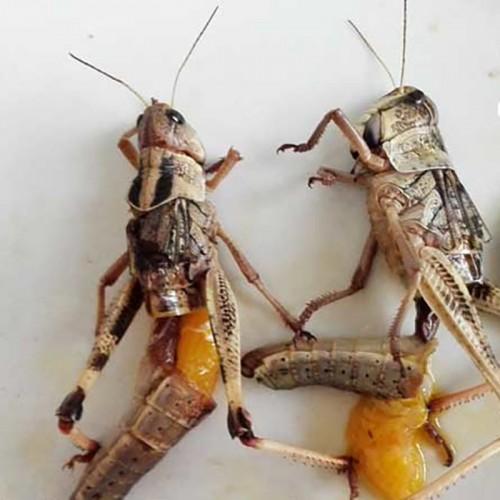 Саранча сушеная- Сушеные насекомые