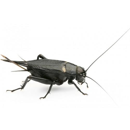 Сверчок двупятнистый (Gryllus bimaculatus)- Замороженные  насекомые